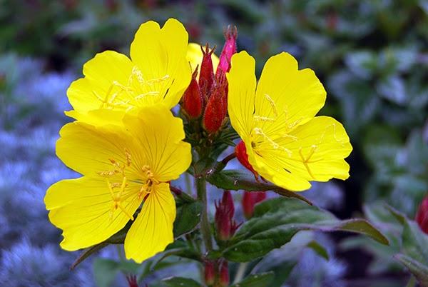زهرة الأونوثارا