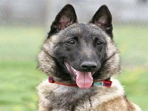 معلومات عن كلاب المالينو ومواصفاتها الجسدية