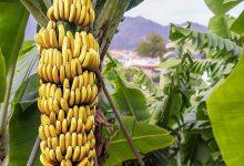 Photo of فوائد الموز الصحية والنصائح والمخاطر