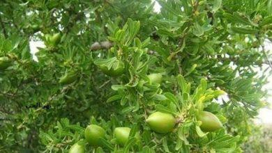 Photo of معلومات عن نبات الجوجوبا Jojoba , صور شجرة الجوجوبا , تفاصيل عن نبته الهوهوبا