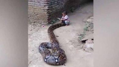 Photo of طفل يلاعب ثعباناً ضخماً (فيديو)