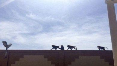 Photo of القرود تعاقب المقصرين في جامعة بيشة
