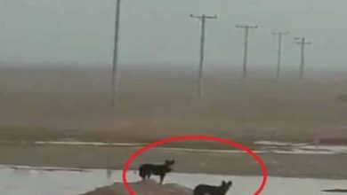 Photo of صور ذئبان يتجولان في روضة نورة شمال الرياض
