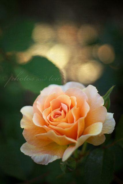 صور جميله ورود ملونة