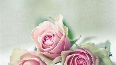 Photo of اجمل ورد , صور احلى ورد , احلى باقة ورد للحبيب , صور حلوه عن الورد عالية الجودة