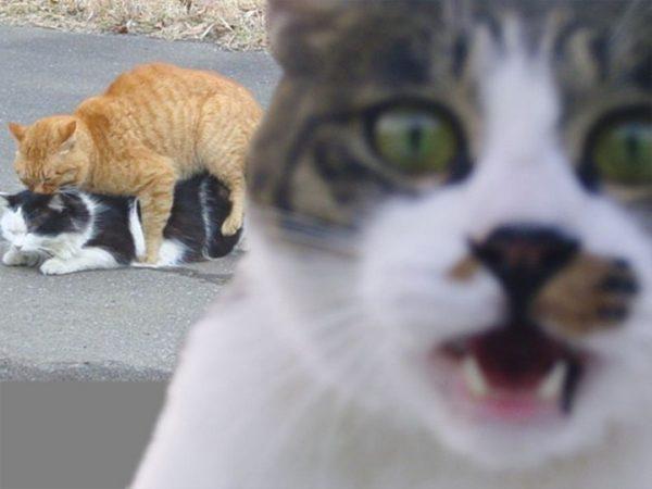 التزاوج عند القطط
