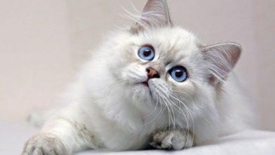 Photo of تفسير حلم رؤية القطط في المنام