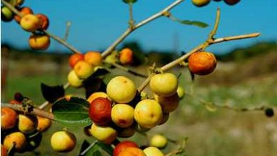Photo of السدر أو النبق شجرة عظيمة غنية الفوائد