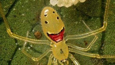 Photo of عنكبوت الوجه السعيد !