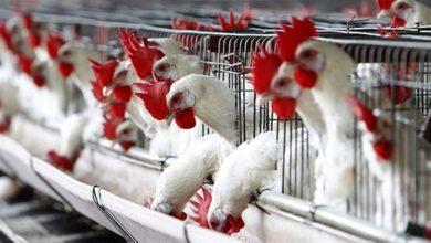 Photo of ماهي انواع الدجاج البرازيلي في السعودية