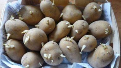 Photo of درنات البطاطس تحتوي على سم