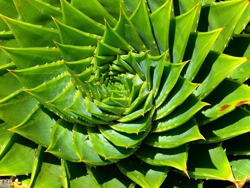 aloe-vera-plante-verte-medecine-miracle-01
