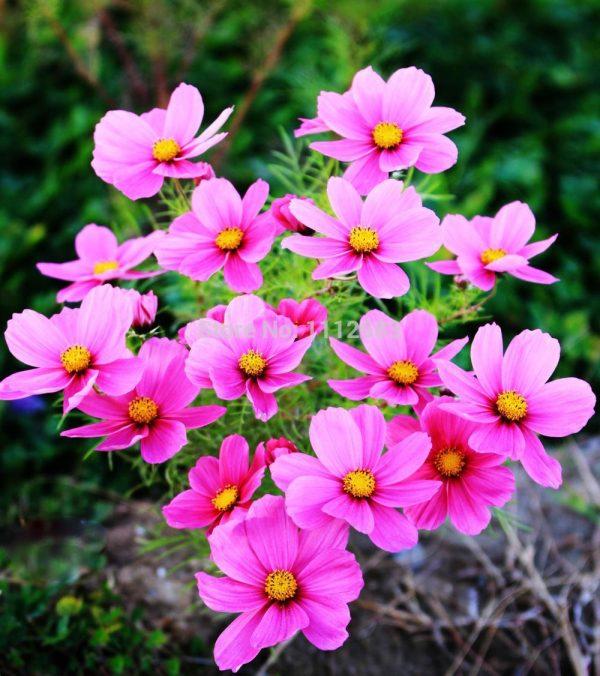 صور أزهار الكوزموس