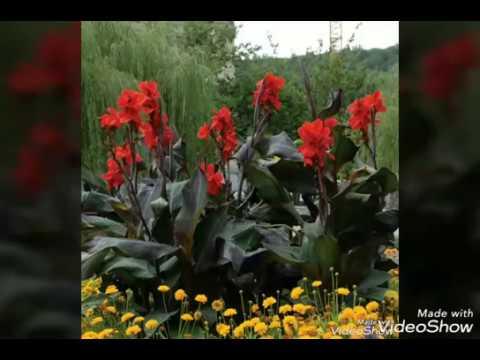 صورة نبات الكنا Canna