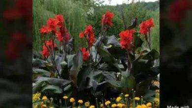 Photo of نبات الكنا Canna تعرف على طريقة العناية به و كيفية زراعتها