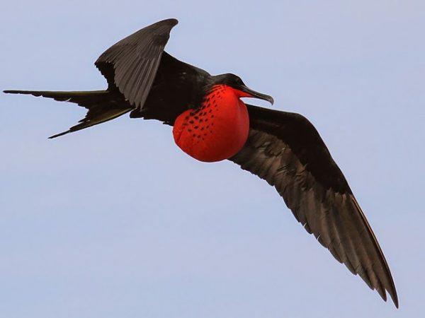 Frigate Bird طائر الفرقـاط او طـائر البارجـه