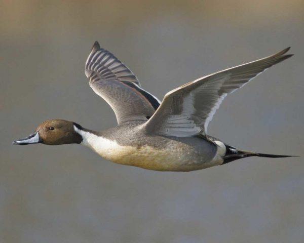 Pintail Duck (بط البلبول) البط ذي الريش الطويل