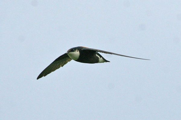 Spine Tailed Swift طـائر السمـامه