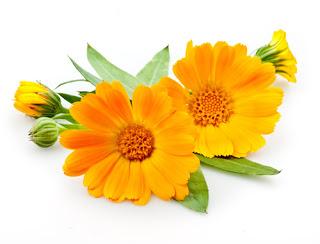 صور نبات الآذريون