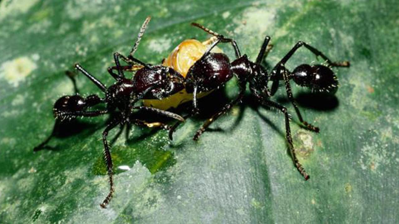 طرق يتكاثر النمل ومعلومات هامة عنه