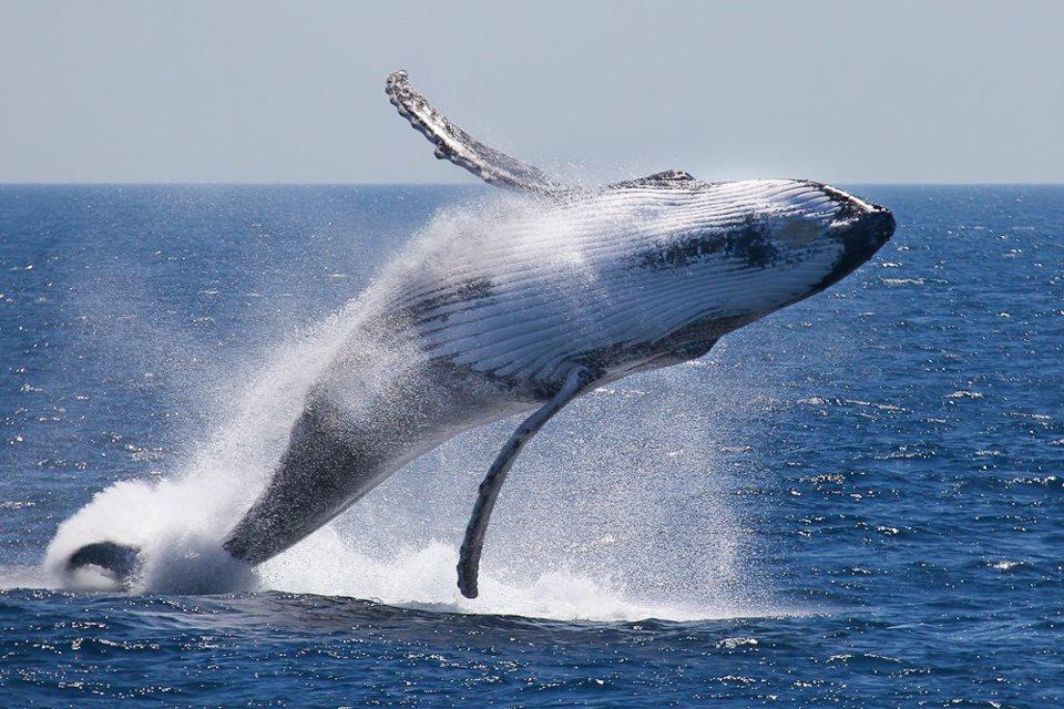 فوائد زيت كبد الحوت