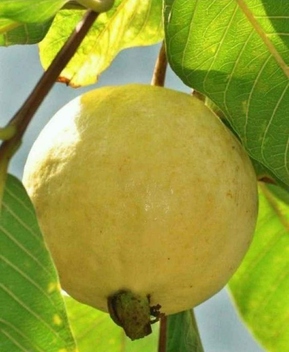 فوائد الجوافة الغذائية