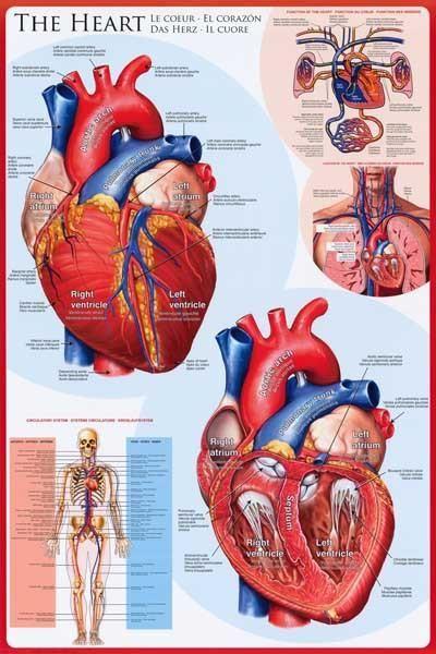ما هو عدد دقات القلب