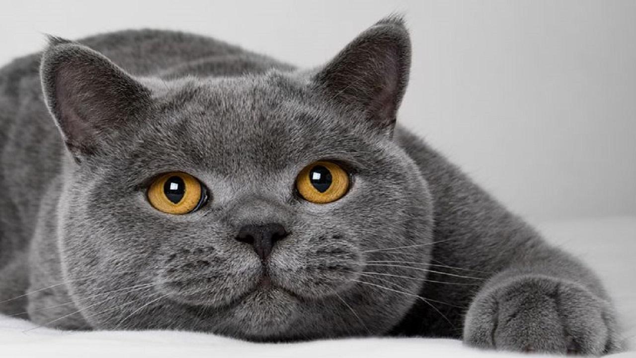 انواع القطط