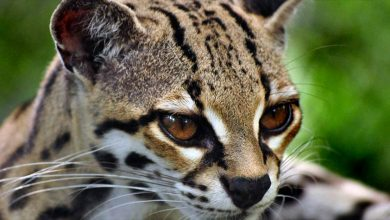 صور قط المارجاي Margay cat