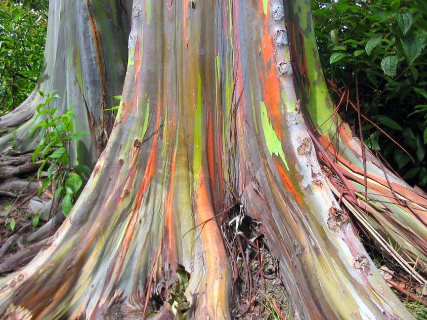 شجرة الأوكالبتوس