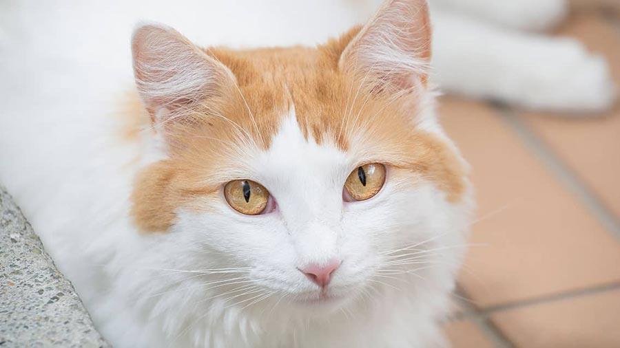 صورة عيون قطط الفان التركية