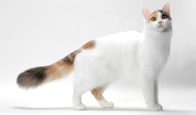 صور قطط الفان التركية
