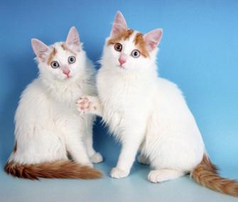 صور قطط الفان التركي