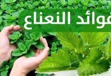 Photo of فوائد النعناع