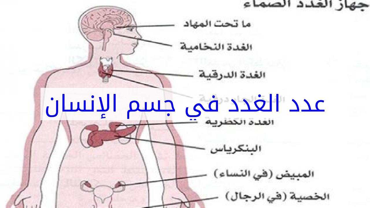 ما هي الغدد الموجودة في جسم الإنسان ووظائفها مجلة رجيم